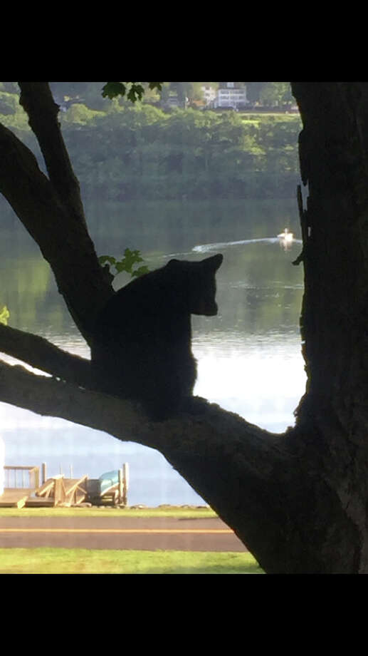 A black bear was spotted at a home along Lake Waramaug on Friday, july 15, 2016. Photo: Contributed: Caroline Andryc / Connecticut Post
