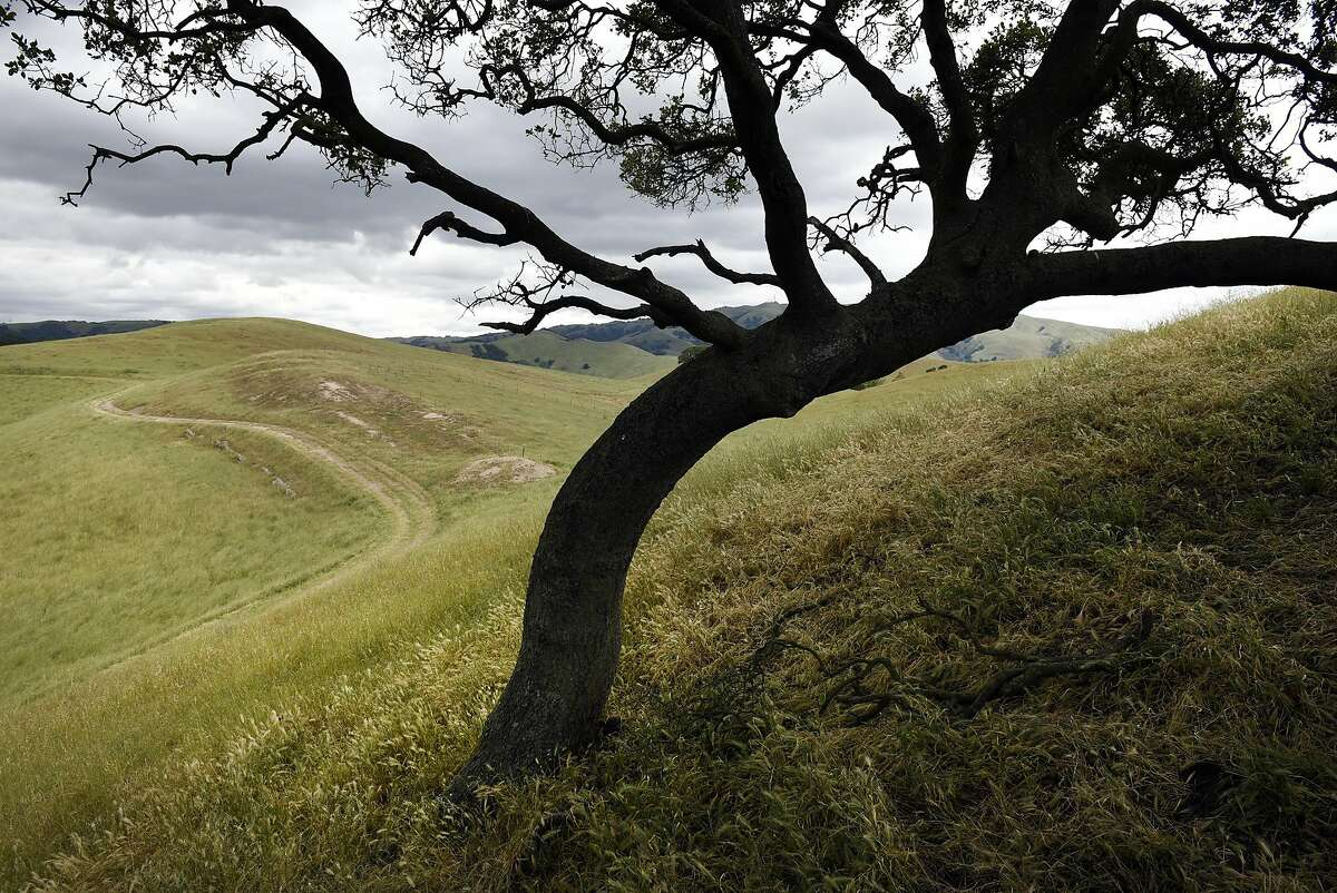 An oak tree is seen on a hill above a trail at Vargas Plateau Regional Park in Fremont, CA, Thursday, May 5, 2016.