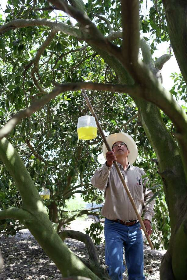 Fred Sanchez, an inspector with the Texas Department of Agriculture, places a fruit fly trap at a managed citrus orchard in Hidalgo County in the Rio Grande Valley. Photo: JERRY LARA, Staff / © 2016 San Antonio Express-News