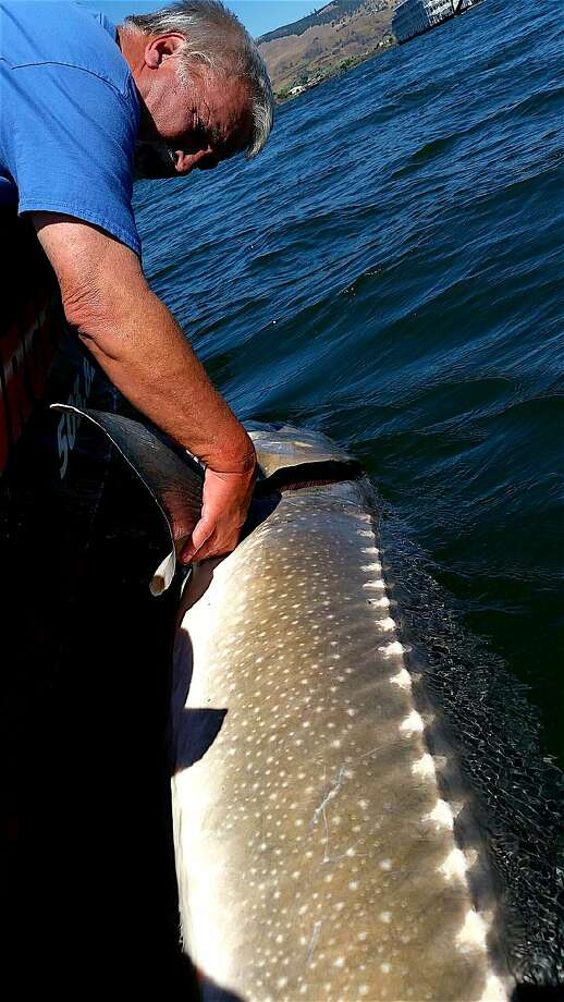 Jeff Ague releases giant sturgeon estimated at just under 900 pounds. It measured 11 feet long and had a girth of 72 inches Photo: Tom Stienstra, Charlie Foster / NW Sturgeon Adventures