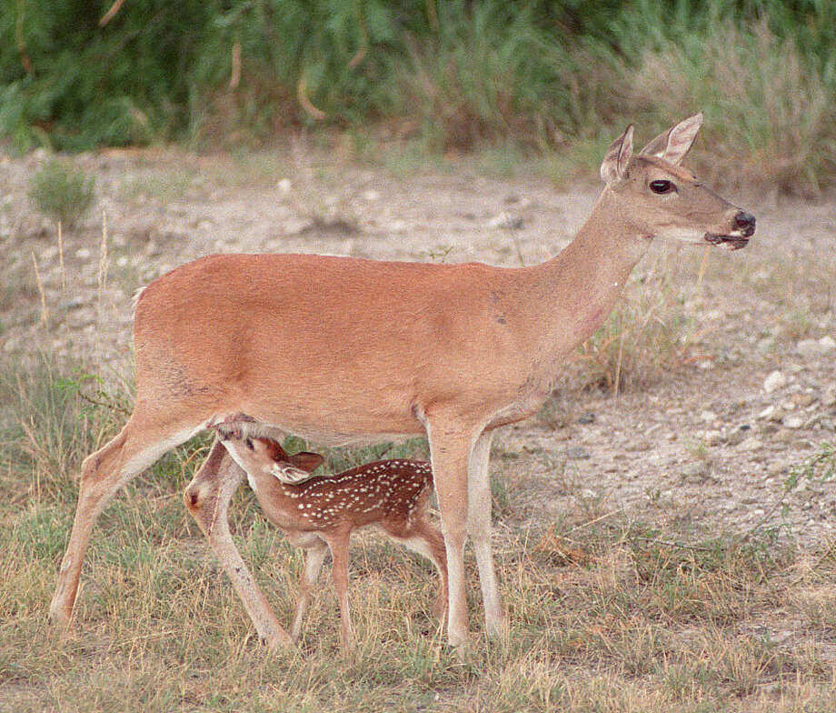 White-tailed deer fawn production appears mixed across Texas this year as heavy spring and early-summer rains fueled excellent habitat conditions in much of the state; flooding eliminated crucial habitat in others. Photo: Shannon Tompkins, Staff / HOUSTON CHRONICLE