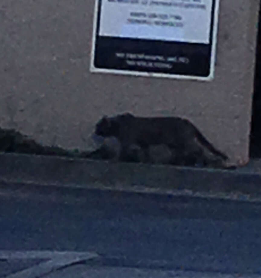 What was believed to be a mountain lion was seen around 20th Avenue and La Salle Drive in San Mateo on Sunday evening. Photo: Courtesy San Mateo Police Dept.
