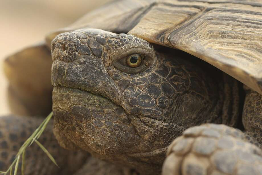 Desert Tortoises can be found in Eagle Mountain and Soda Mountain. Photo: David Lamfrom
