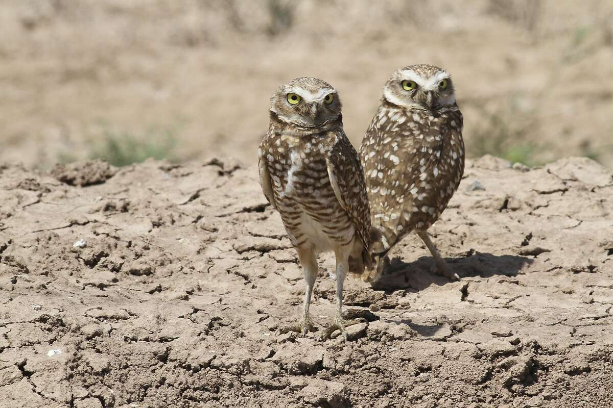 Burrowing owls can be found in the Soda Mountain area as well as the Imperial Valley.