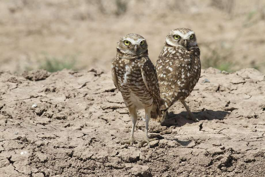 Burrowing owls prefer flat, grassy areas at low elevation — sites that also appeal to builders. Photo: David Lamfrom