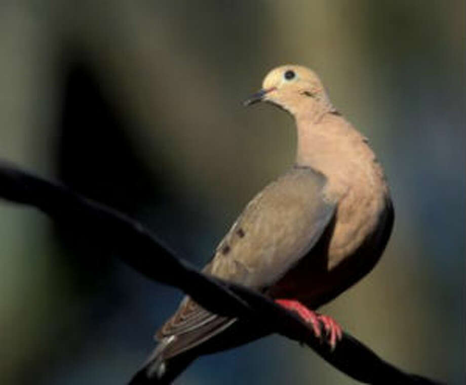 Texas Parks and Wildlife PhotoTexas wildlife officials are warning that a pandemic involving avian paramyxovirus could spread into Hale County. Outbreaks already have been detected among dove in the vicinity of both Lubbock and Midland.