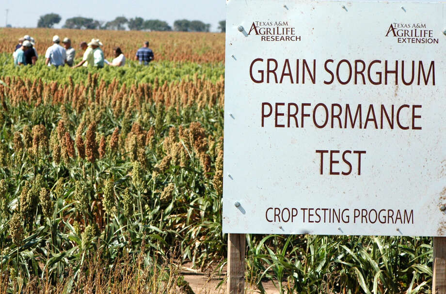 Kay Ledbetter/Texas A&M AgriLife Communications Information gathered from the Texas Panhandle Forage Sorghum Silage Trials, as shown in this photo from Sept. 9, 2015, is used to update national gain sorghum eligibility tables as well as provide performance and yield data.