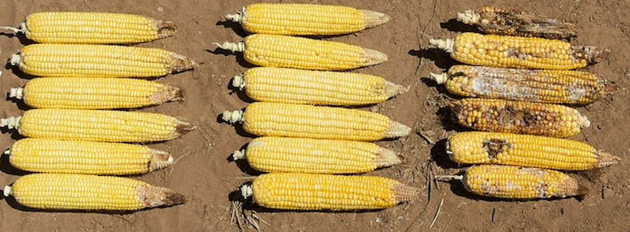 Dr. Pat Porter/Texas A&M AgriLife Extension Service The first two columns of corn have Bt traits while the final column is non-Bt corn. Photo: Pat Porter