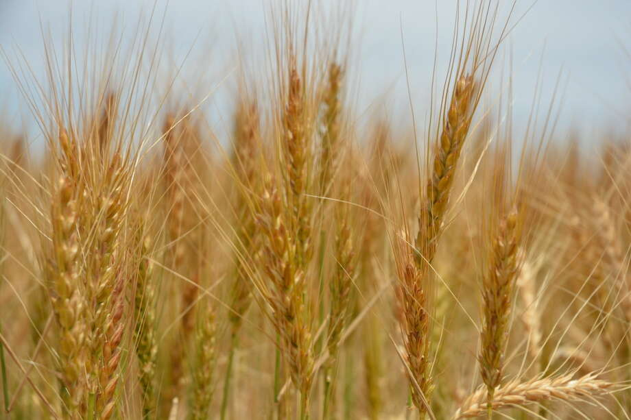 Kay Ledbetter/Texas A&M AgriLife Communications Texas A&M AgriLife Research is making genetic advancements in wheat to increase yields in the future.