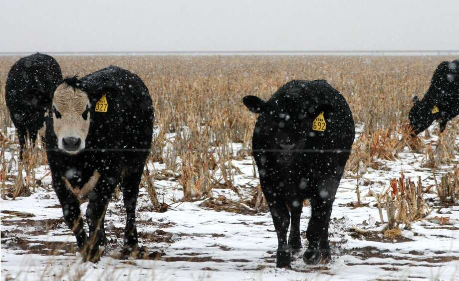 Kay Ledbetter/Texas A&M AgriLife Communications Snow falls on stocker cattle in wheat pasture near Amarillo. While the winter has been dry, El Niño remains strong, and wetter conditions are returning, according to Dr. John Nielsen-Gammon, state climatologist and Regents Professor at Texas A&M University, College Station.