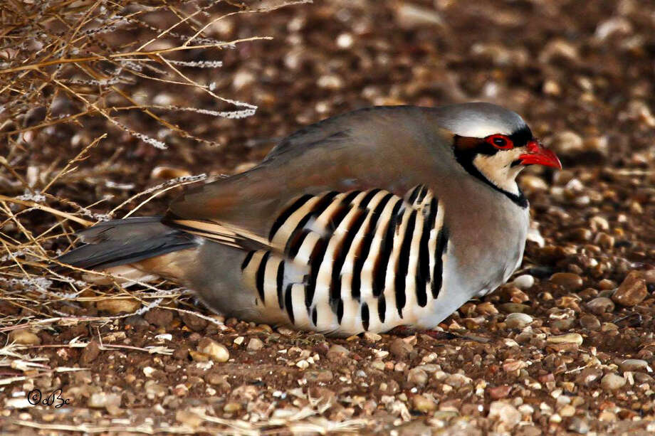 Readers PageMONDAY MORNING VISITORConnie Barnett/Herald ContributorThis beautiful chukar was found in Connie Barnett's driveway in southwest Briscoe County on the morning of Jan. 12, 2015. A Eurasian upland gamebird, the chukar partridge, according to Wikipedia, has been introduced in several continents and established strong populations in both North America and New Zealand. It is marked by black and white bars on the flanks and a black band running from the forehead across the eye and running down the head to form a necklace that encloses a white throat. Found in parts of the Middle East, the chucker is the national bird for Kurds in Kurdistan. Photo: Connie Barnett