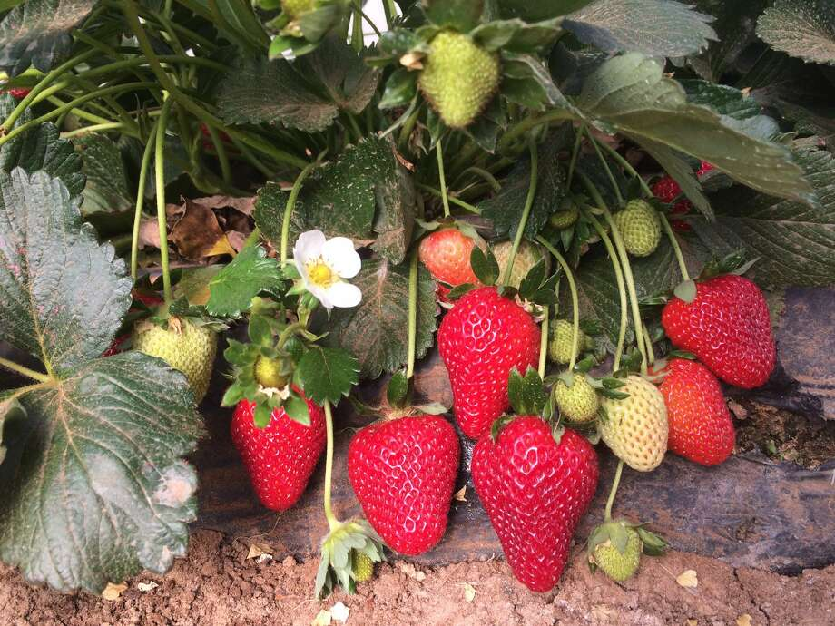 Dr. Russ Wallace/Texas A&M AgriLife Extension Service High quality strawberries such as these ripening under high tunnels in Lubbock, are the goal of a project team headed by Texas A&M AgriLife Extension Service horticulturists.