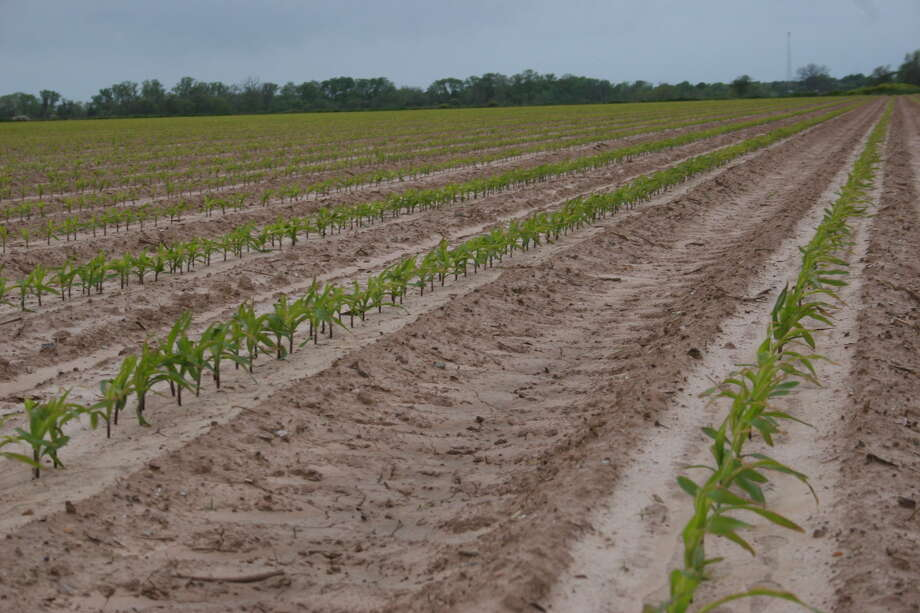 Kathleen Phillips/Texas A&M AgriLife Communications Newly planted corn is beginning to emerge in Brazos County.