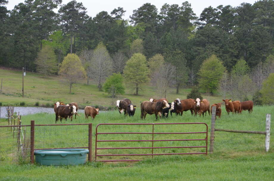 Adam Russell/Texas A&M AgriLife Extension Service Cattle meander around lush green forage near Overton. Winter and spring rains across much of the state have created good conditions for the cattle market.