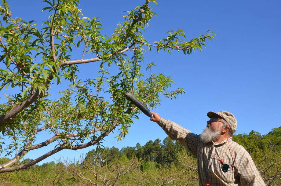 Adam Russell/Texas A&M AgriLife Extension Service Stan Peters thins out peaches at the Philley Peach Orchard near Overton. He said most trees looked good but there are concerns about how a recent frost may have affected others.