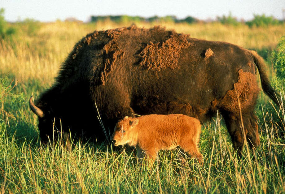 Texas Parks and Wildlife DepartmentThe Caprock Canyons State Park Bison Herd continues to grow with the recent birth of a calf. The herd now numbers 85 animals.