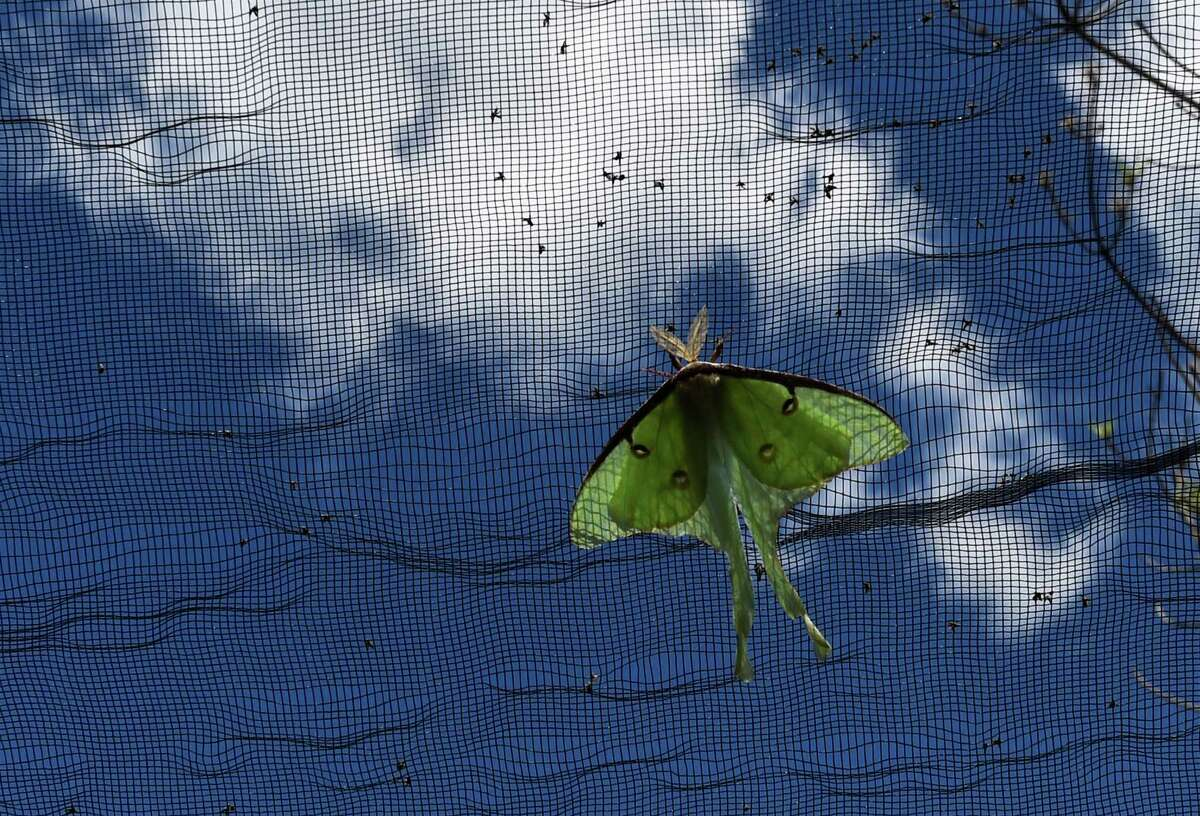 A lunar moth takes up a position on the enclosure on Tuesday, July 19, 2016, at the Farnsworth Middle School's Butterfly Station, in Guilderland N.Y. (Skip Dickstein/Times Union)