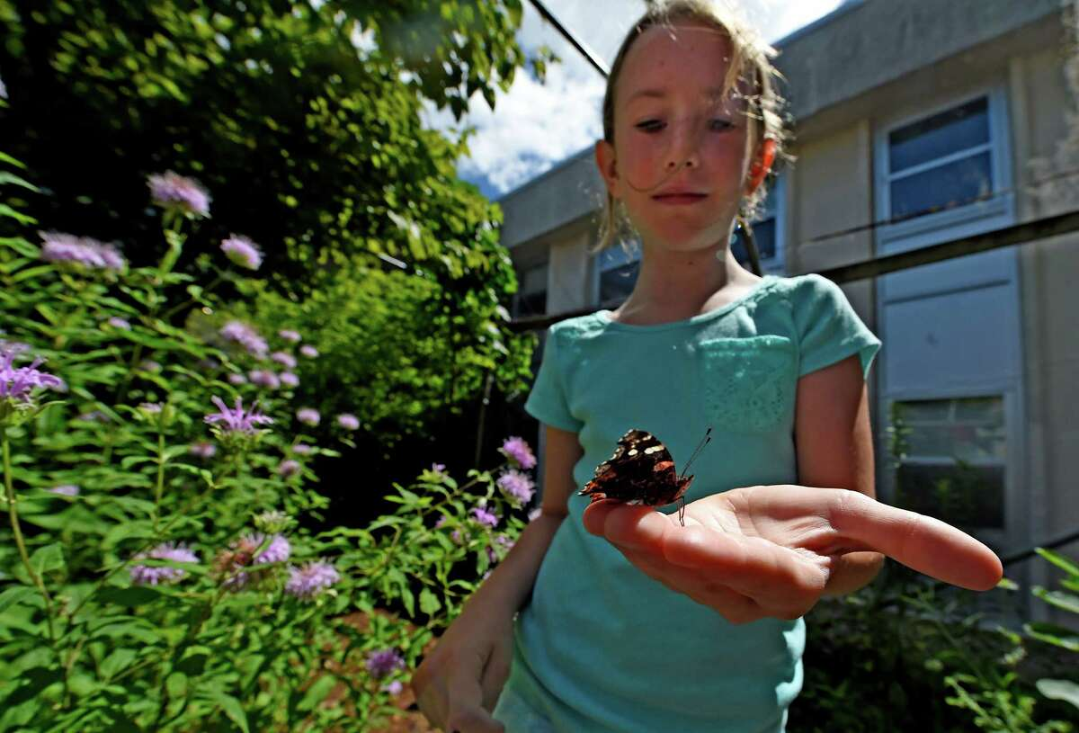 Anabelle Banplew, 9, of Slingerlands holds a Red Admiral butterfly on Tuesday, July 19, 2016, at the Farnsworth Middle School's Butterfly Station, in Guilderland N.Y. (Skip Dickstein/Times Union)