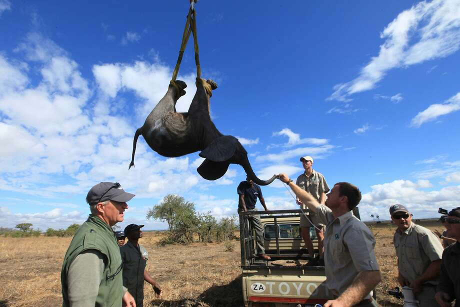 An elephant is lifted by a crane in an upside down position in Lilongwe, Malawi, in the first step of an assisted migration of 500 of the threatened species. Photo: Tsvangirayi Mukwazhi, Associated Press