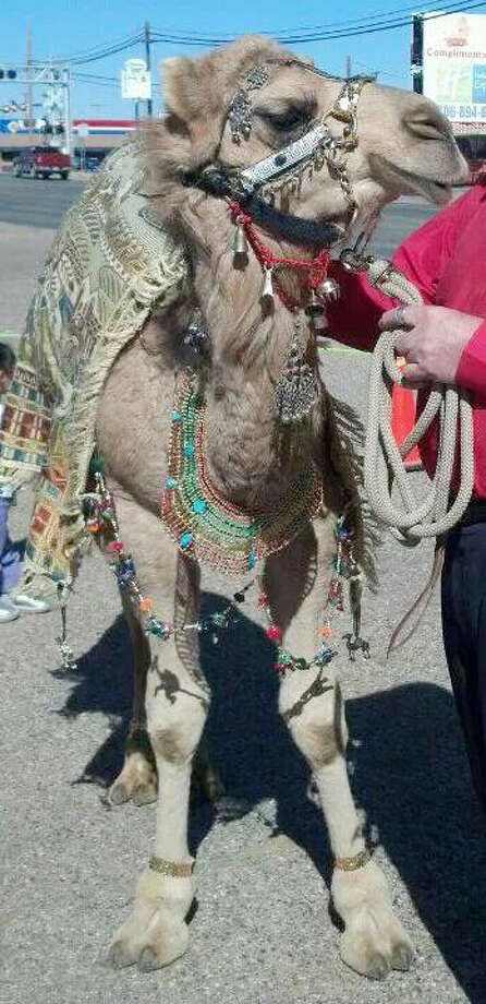 Rango the Camel from Whitley Acres of Levelland will greet visitors at the Covenant Foundation 6th Annual Gala. Photo: Courtesy Photo