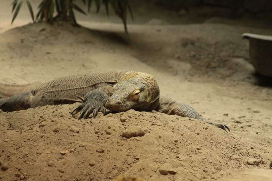 Jude, a Komodo dragon on loan to the Virginia Aquarium and Marine Science Center from the San Antonio Zoo, was euthanized on July 18, 2016. Photo: Courtesy Virginia Aquarium And Marine Center Facebook