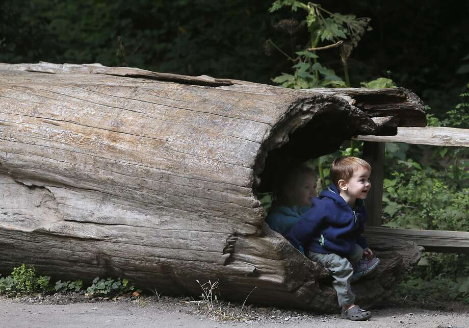 Sebastian Markevich and his sister Lucy emerge from the hollow of a tree at the entrance to Muir Woods National Monument in Mill Valley, Calif. on Wednesday, June 29, 2016. The National Park Service is considering a plan to remove a parking lot and reduce a wide pedestrian area at the entrance to the park and restore the natural habitat along nearby Redwood Creek. Photo: Paul Chinn, The Chronicle