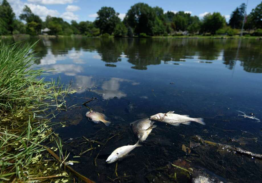 Dead fish appear in old greenwich pond stamfordadvocate for Fish stamford ct