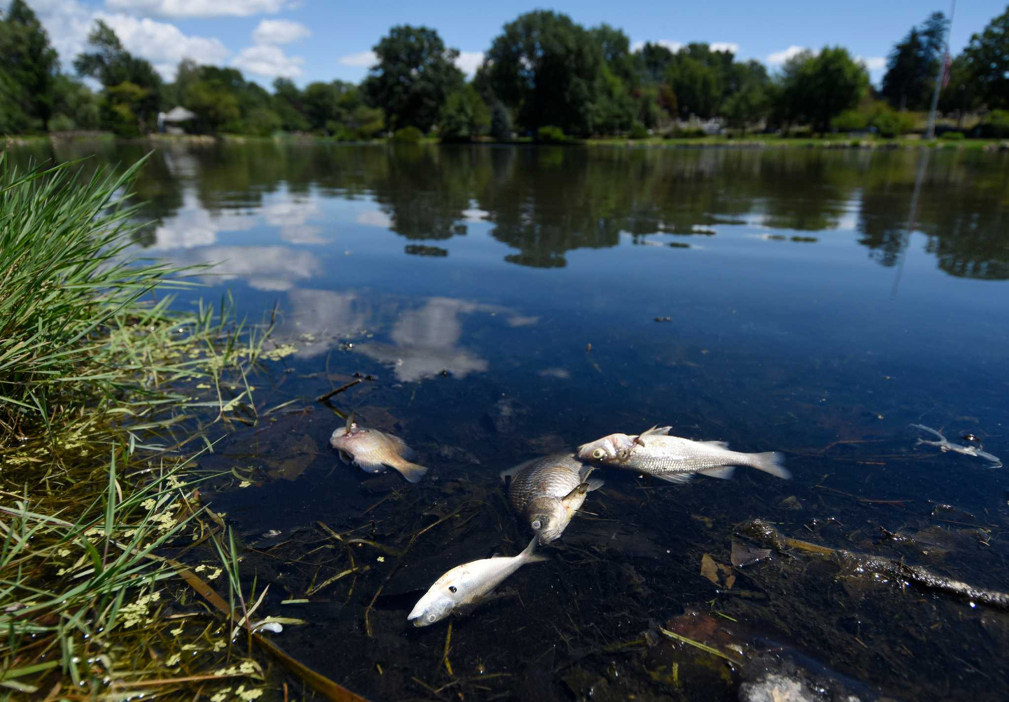 Dead fish appear in old greenwich pond greenwichtime for Fish stamford ct