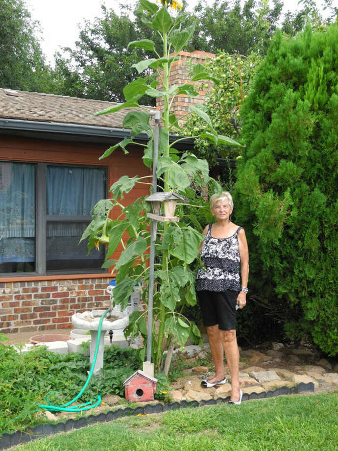 "Gail M. Williams/Plainview HeraldEvery year Elvira and David Wiggs plant about five sunflower seeds in their Garland Street backyard. The plants eventually produce seeds to feed birds, including the turtledoves that nest there. This year one plant took off and grew straight up, topping the Wiggs' apple trees and even their house chimney. The sunflower is at least twice as tall as Elvira, who is 5'2"". Elvira attributes the extreme height of the plant to the June and July rains. ""It's taller than the one last year,"" she says."