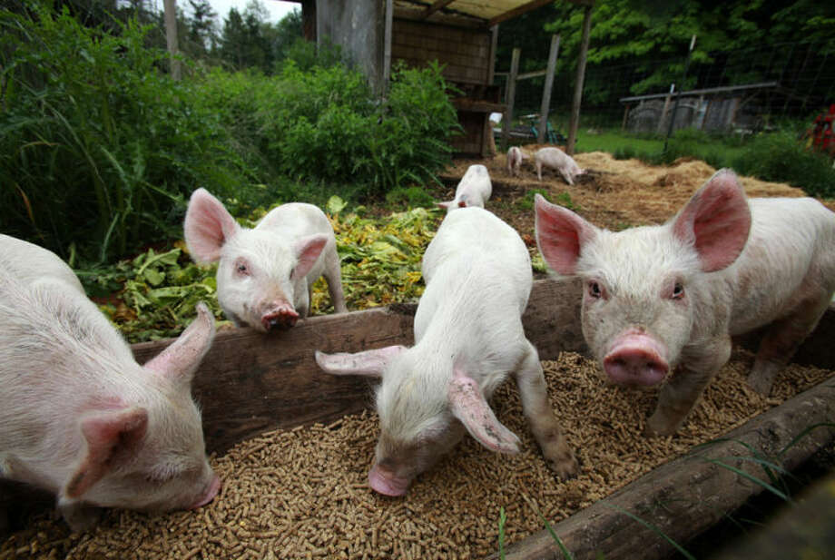 Piglets are fed at Maple Rock Farm on Orcas Island, Washington, on June 1, 2012. PEDv, a virus that affects very young piglets, has contributed to a rise in the price of pork products. Photo: Ken Lambert | Seattle Times/MCT