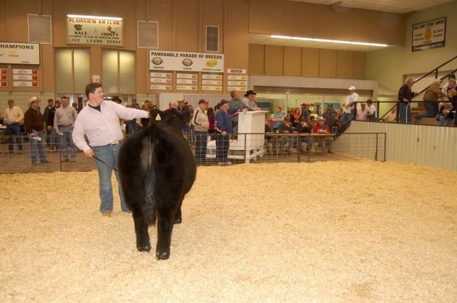 Doug McDonough/Plainview HeraldPlainview FFA member Zach Marley holds his grand champion steer steady during bidding Monday at the premium auction that ended the 77th annual Hale County Stock Show. The winning bid for Marley's steer was $3,000 from Production Plus.