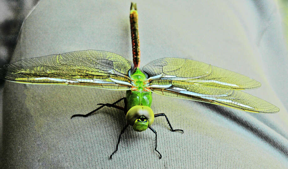 Taking on rich color as it basks in the summer sun Monday, a Green Darner dragonfly prepares for flight in a local yard. A dragonfly develops for about a year before emerging from a gill-breathing nymph to adult, then completes its lifecycle by mating. Unlike the butterfly, it skips the cocoon stage. Photo: By GORDON ZEIGLER