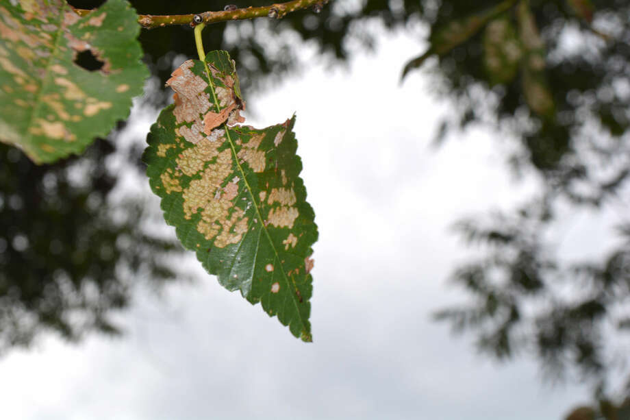 Leaf damage is a common sign of the Chinese Elm Tree Beetle which is an annual pest on the Texas High Plains.