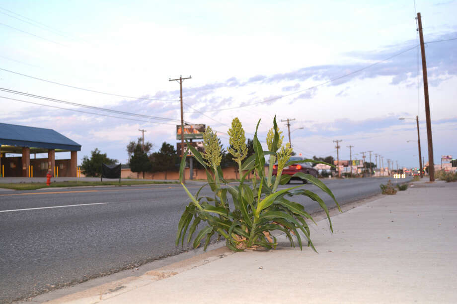 Urban GrainDoug McDonough/Plainview HeraldAfter growing through a crack between the sidewalk and curb, stalks of grain sorghum develop heads that are now maturing in the 500 Block of West Fifth, outside the Sands Motel. After almost four years of drought, plentiful rainfall during spring and early summer allowed errant kernels to sprout. In this case, these field crop found a toehold within the Central Business District along one of the mostly heavily traveled roadways in Plainview.