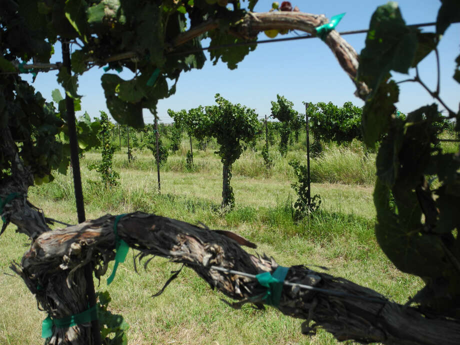 Feddy Bell's Zinfandel grape arbor near Olton has been pruned and will be picked partly by machine, partly by hand. Photo: Gail M. Williams | Plainview Herald