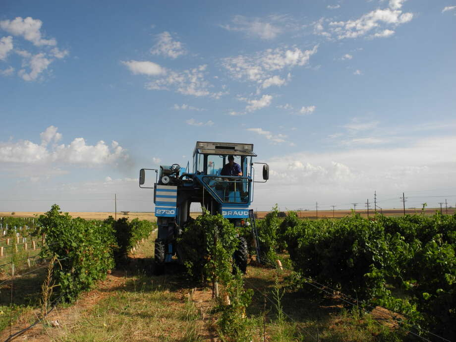 Rodney Bell of Bell Brothers Vineyards drives the harvester on Cliff and Diane Babbitt's vineyard near Petersburg on Monday. Photo: Gail M. Williams | Plainview Herald