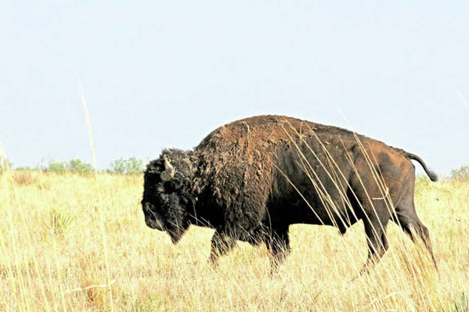 A large bull bison walks across a newly-restored prairie grassland as part of a release program to make the Texas State Bison Herd more viewable by the public at Caprock Canyon State Park near Quitaque. Photo: Courtesy Photo By Bryan Frazier Texas Parks And Wildlife Department