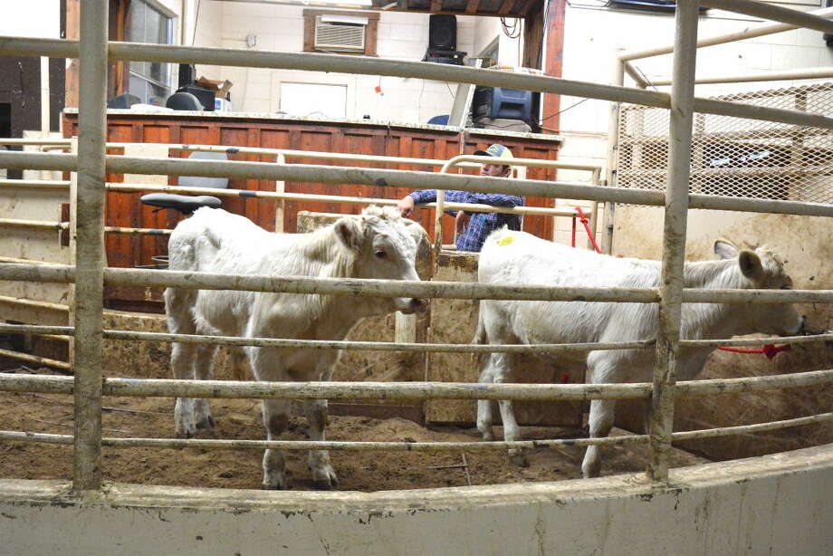 Calves continue to be sold at local auction markets across Texas as part of fall livestock activities.
