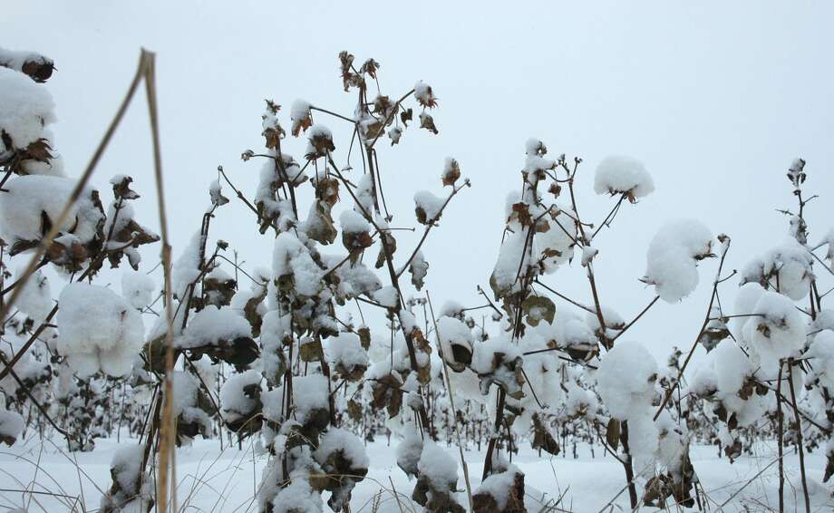 Steve Byrns/Texas A&M AgriLife Extension Service Cotton under snow is shown near San Angelo in this 2009 file photo.
