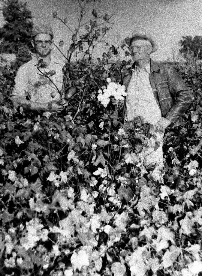 Herald File Photo This photo, originally published on the front page Oct. 24, 1954, shows Donald Ebeling (left) and his father, Ernest Ebeling, examining a cotton stalk from a field west of Plainview that yielded more than a bale of the acre in its first pulling and which was expected to yield a total of two bales per acre after a second harvest.