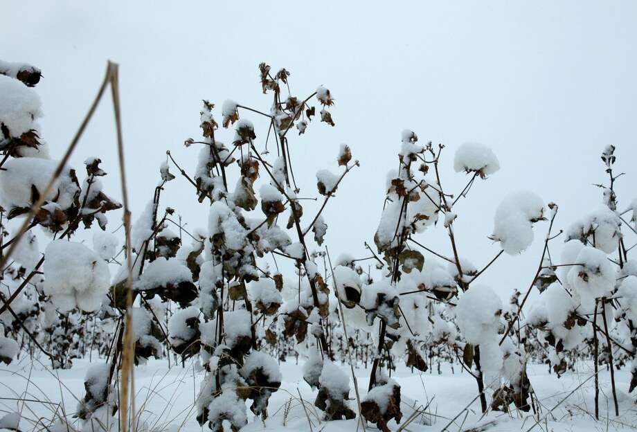 Robert Burns/Texas A&M AgriLife ExtensionCotton in some areas of the South Plains received 1 inch to 2 inches of snow on Nov. 16, according to reports from Texas A&M AgriLife Extension Service county agents.