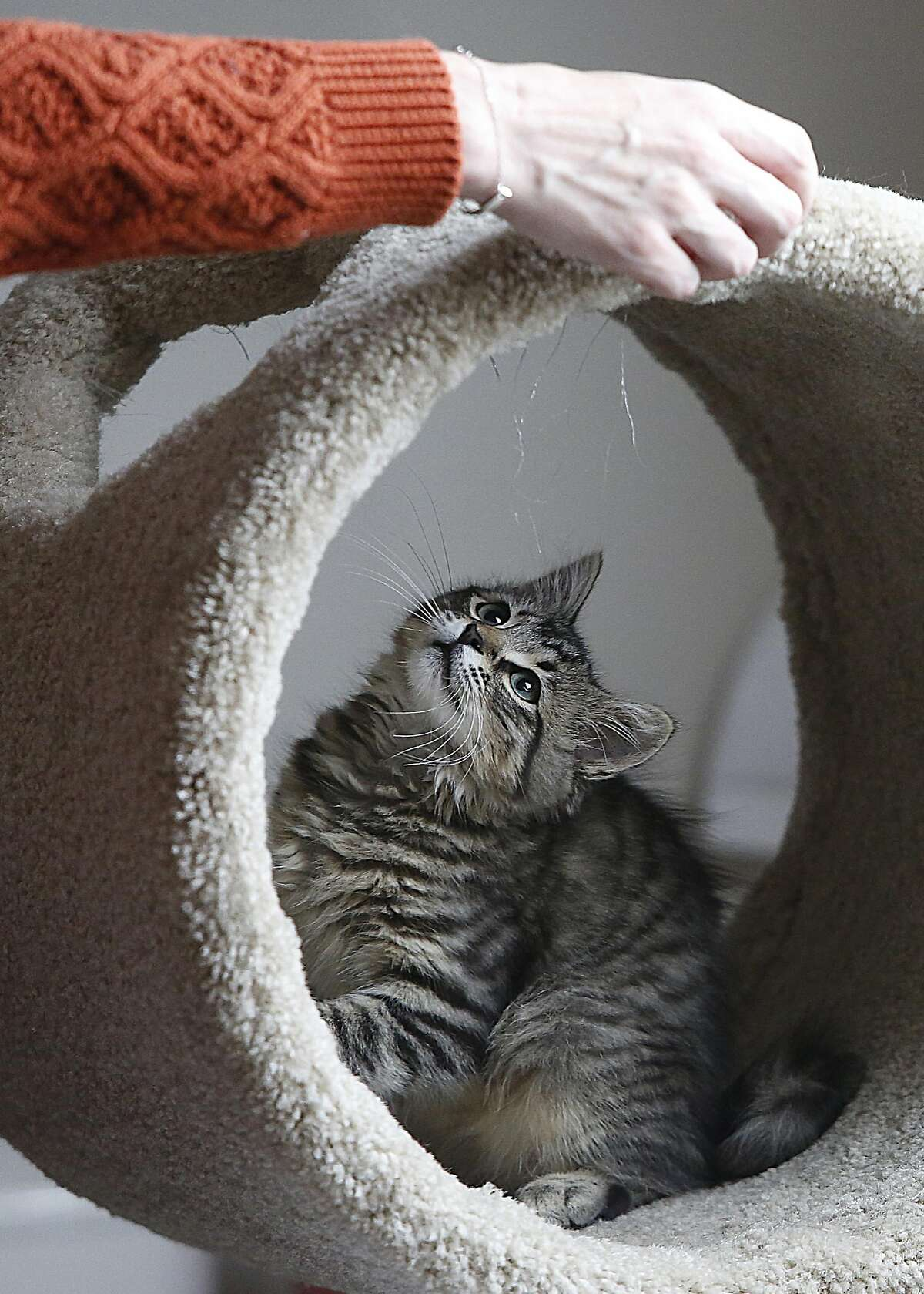 Owner Amber Grace of Saving Grace Kitten Shelter for at-risk, special need kittens, plays with Chevy on Wednesday, July 20, 2016, in San Francisco, Calif. Rents for the shelter have become to high to afford.