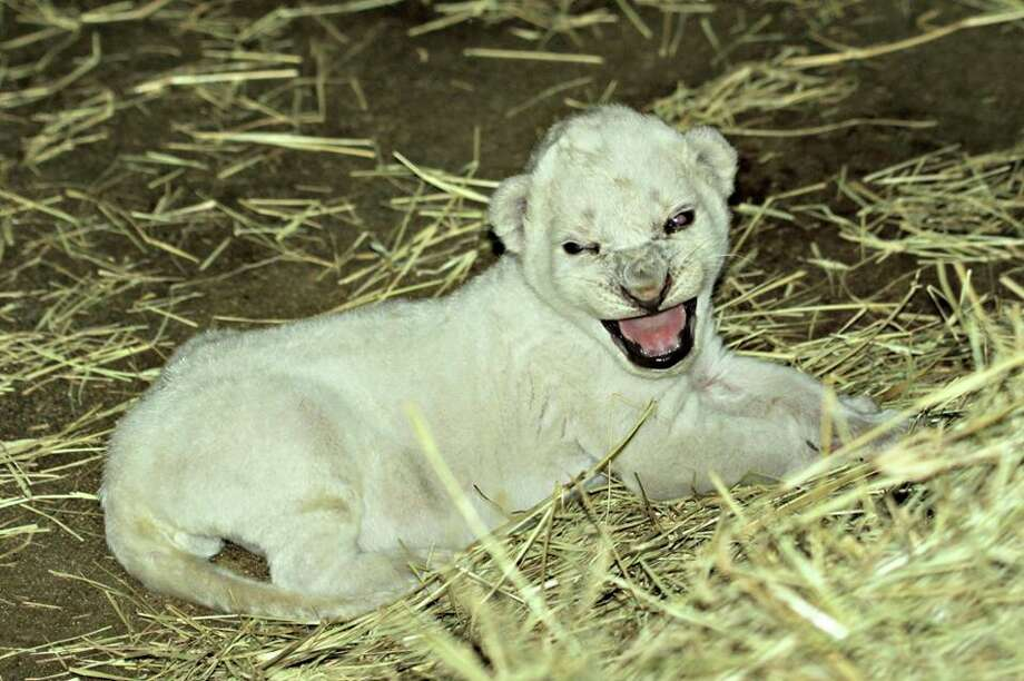 On Friday, July 15, 2016, African lioness Adia gave birth to her second cub and to the surprise of the Ellen Trout Zoo staff, the cub had stark-white fur. Photo: Ellen Trout Zoo