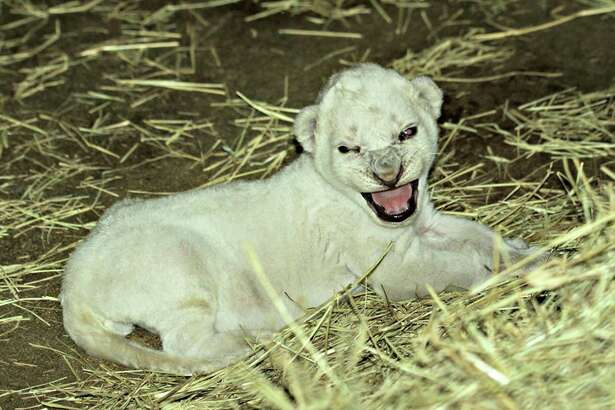 On Friday, African lioness Adia gave birth to her second cub and to the surprise of the zoo staff, the cub had a stark-white fur.