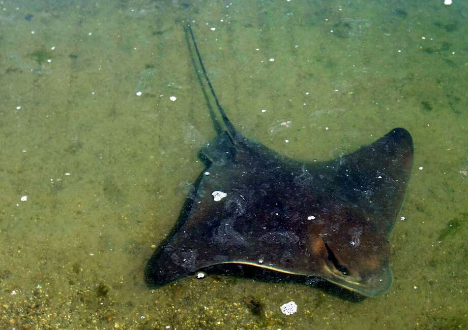 A bat ray darts into the shallows at the Martin Luther King Regional Shoreline Park. Some of the animals were found dead over the weekend in the South Bay. Photo: Lance Iversen, The Chronicle