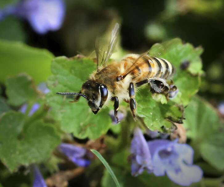 In this Monday, May 23, 2016 photo, a honey bee is pictured outside a colony owned by Mad Urban Bees in Madison, Wis.  (AP Photo/Wisconsin State Journal,  John Hart)/Wisconsin State Journal via AP) MANDATORY CREDIT
