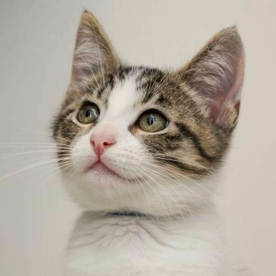 Jon SnowAge: 2 monthsWeight:  2 lbs., 3 oz.Gender: MaleCampus: MissionYes, you can adopt the Lord Commander of the Night's Watch. Loves to play, but will attack White Walkers on sight. Photo: SF SPCA