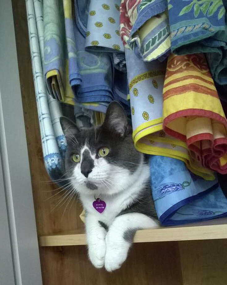 """Oliver (""""Ollie"""") nestled in a closet at home. Photo: Contributed Photo"""