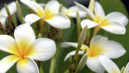 Plumeria produces beautiful flowers, but a reader wonders why his large ones failed to produce flowers this year.