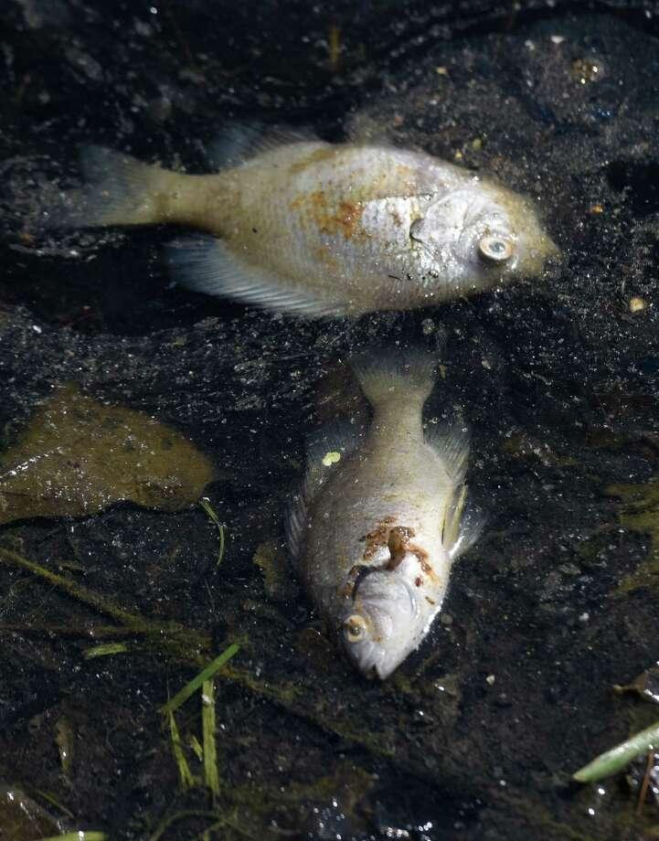 Greenwich s binney pond carp death blamed on salt water for Salt in koi pond